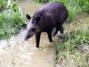 Vign_tapir_4